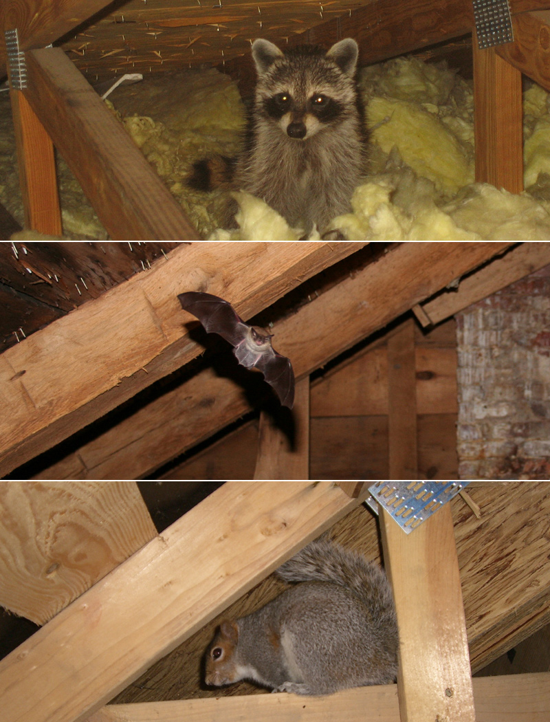 Animal In The Attic Signs Danger What To Do