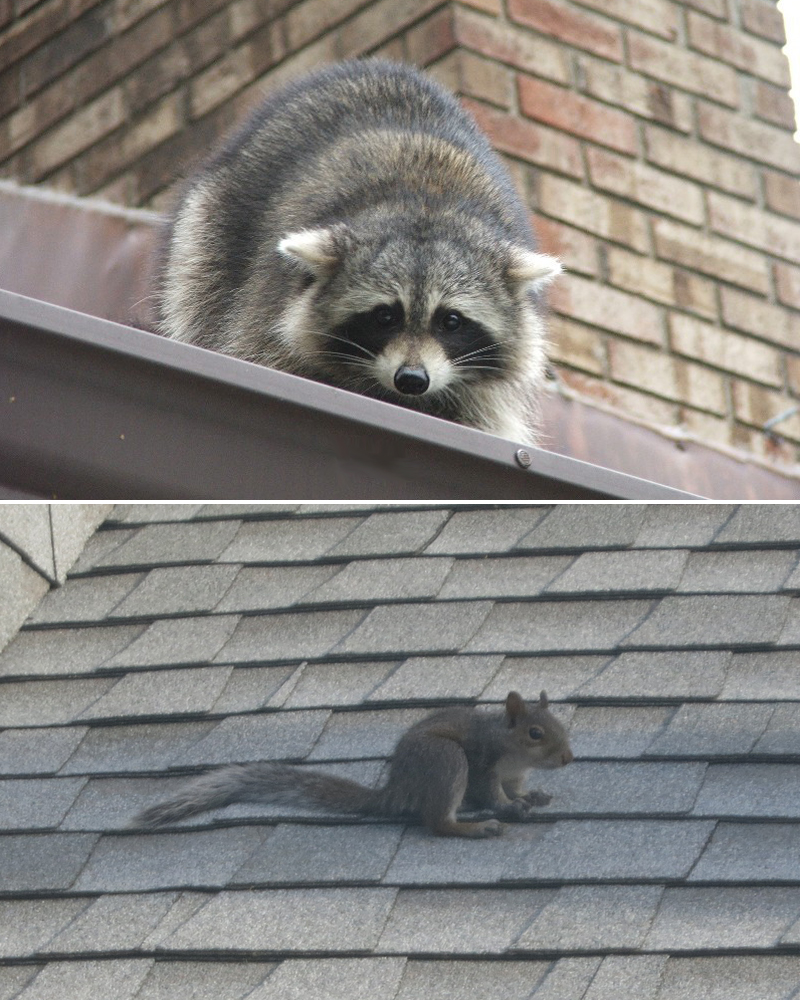 Animal on the Roof - What Sounds and Noises - Night or Day