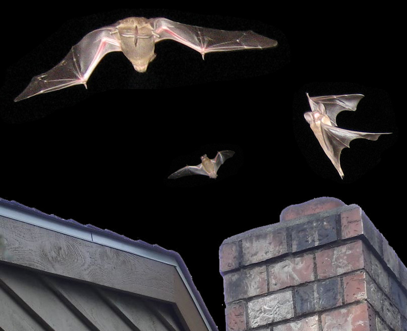 Bats In The Chimney What To Do Living In Chimney Cavity