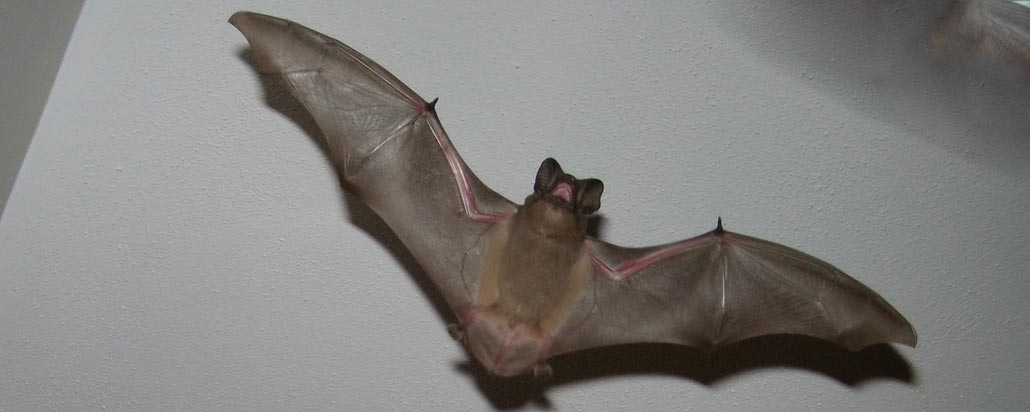 An introduction to the big brown bat