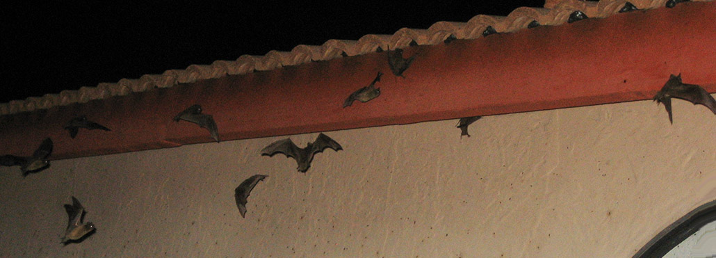 This Is Why It So Important To Seal Up Your Attic Bats Cannot Enter And Become Nuisances