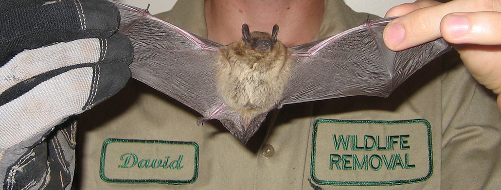 How To Get Rid Of Bats Steps And Tips