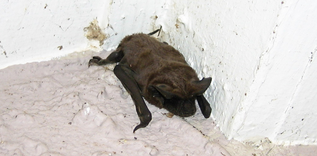 Your Chimney And Central Air Vents Can Also Allow For Access To Bats You Identify The Entry Ways By Dark Oily Markings That Will Be Left Behind