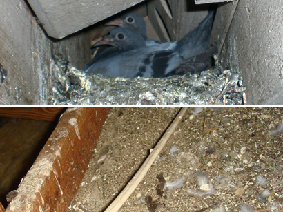 How To Remove A Bird In The Attic - Birds can be a big problem for those who have to deal with them in any part of the home but while they ... & Pigeon and Bird In the Attic - Signs Danger What to Do