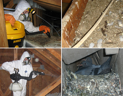 ATTIC DECONTAMINATION u0026 OTHER SERVICES In some situations it may be desirable to clean your attic after youu0027ve removed pigeon and birds from the space. & Pigeon and Bird Removal