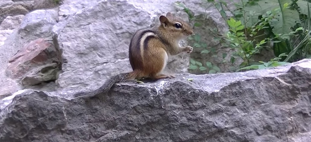 Preventing Chipmunks In The Garden Garden Ftempo