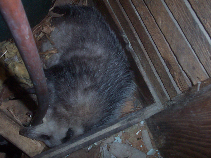 Dead Animal in the Chimney What to Do Stuck in Chimney Cavity