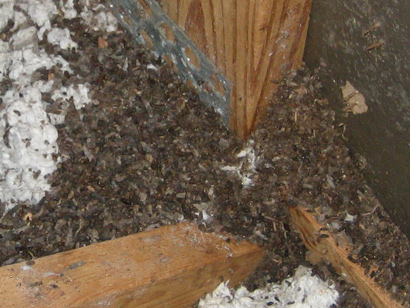 Bat Feces Pictures Danger And Diseases From Bat