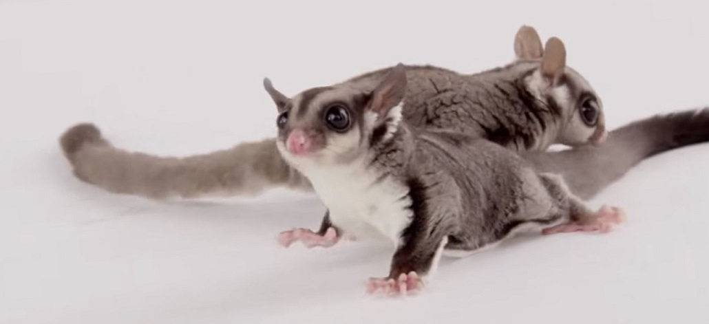 Can A Flying Squirrel Actually Fly