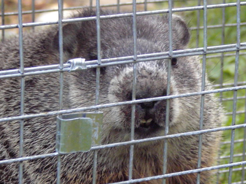 Groundhog Prevention How to Keep Groundhogs Away