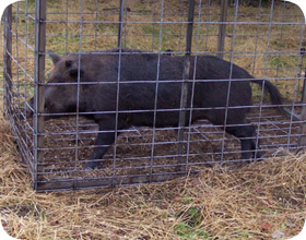 feral hog removal wild pigs