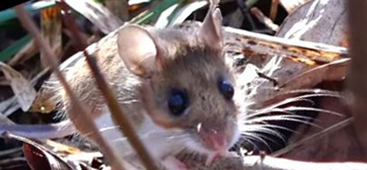 Do mice chew on wires?
