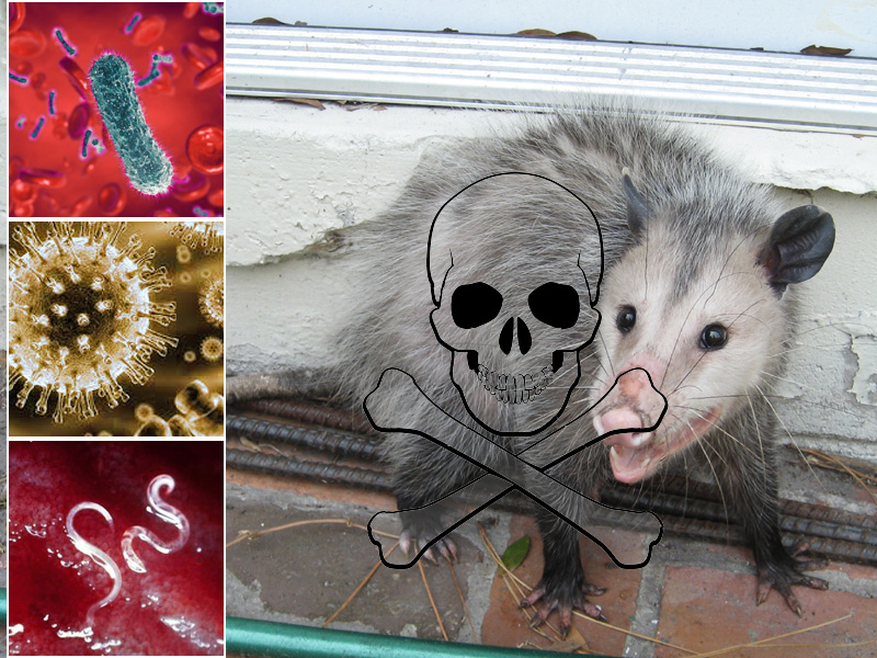 Opossum Diseases Transmitted to Humans or Dogs