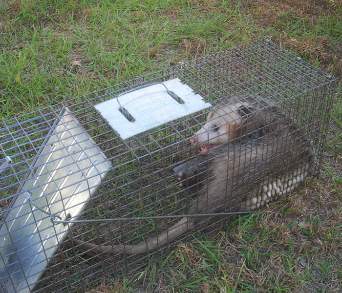 How to Get Rid of Opossums - Steps and Tips