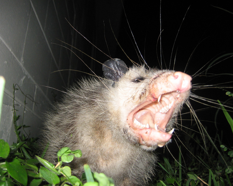 Opossum Under The Shed Deck Or Porch How To Get It Out