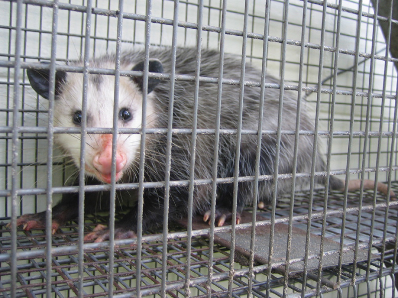 pigeon trapping,opossum trapping,rat trapping