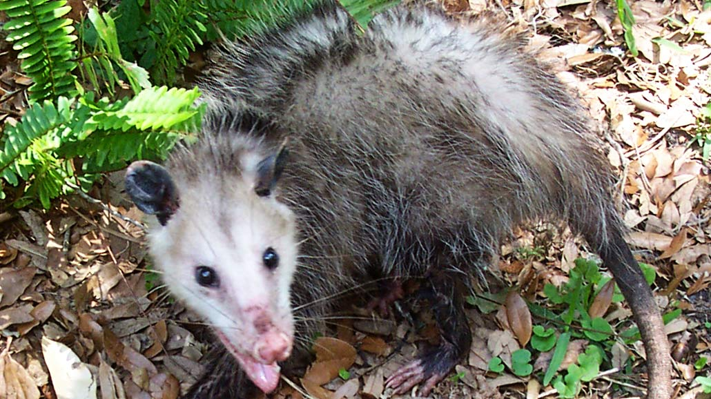 opossumaway - How To Keep Possums Away From Vegetable Gardens