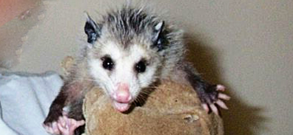 What Should I Do If I Find An Orphaned Baby Opossum