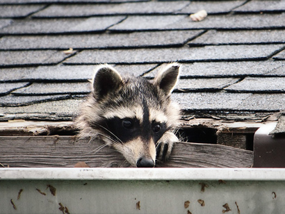 Raccoon on the Roof - What Sounds and Noises - Night or Day