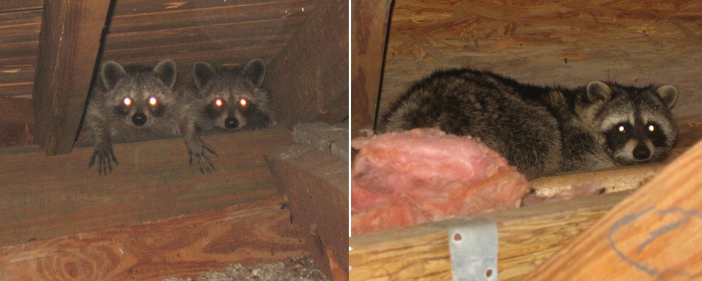 Raccoon In The Attic Signs Danger What To Do