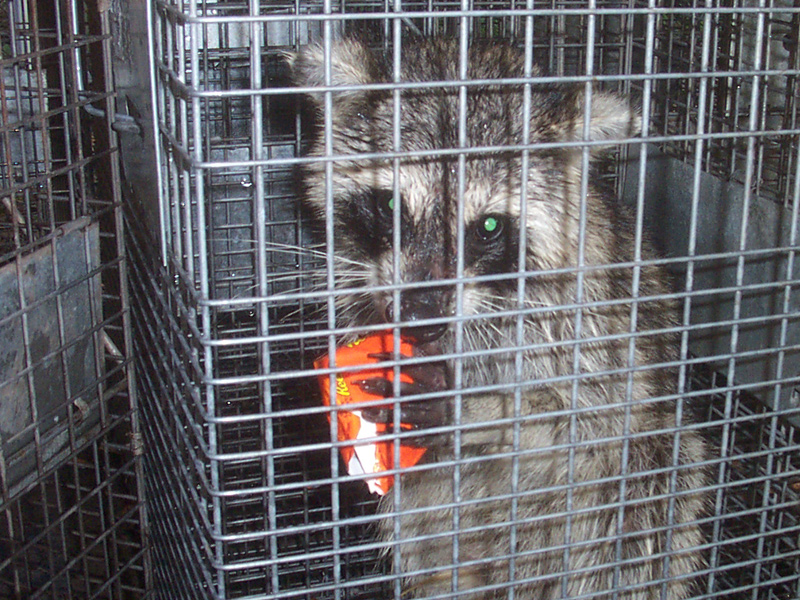 What Kind Of Bait To Catch A Raccoon