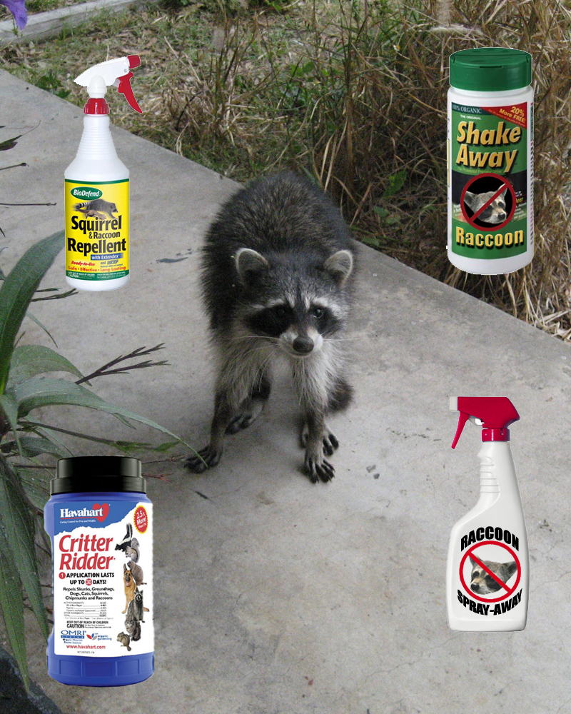 Raccoon repellent what deterrent works How to keep raccoons out of garden