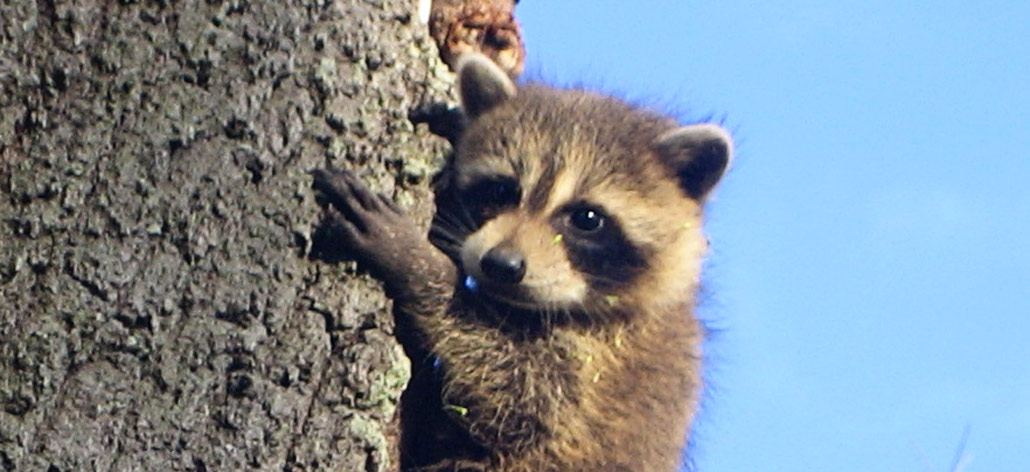 About Raccoons
