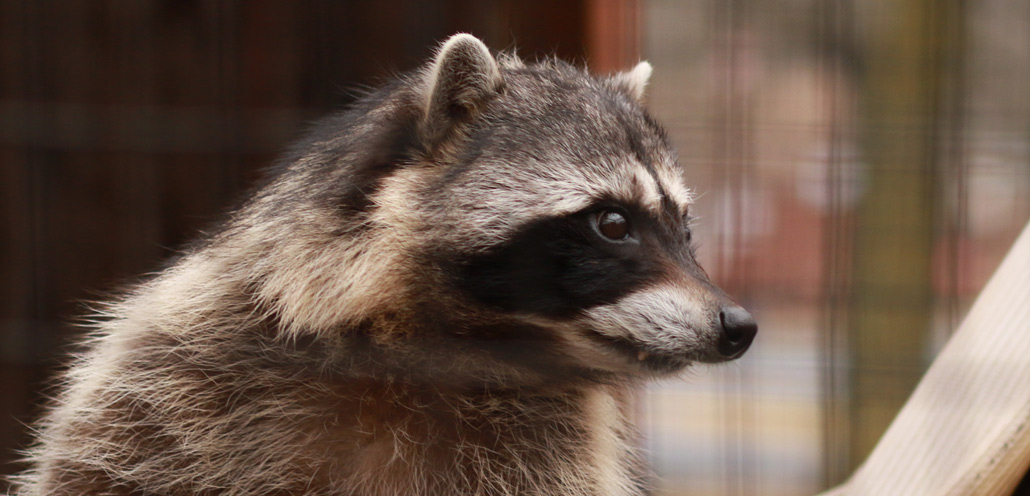 How do I clean raccoon feces out of my attic?