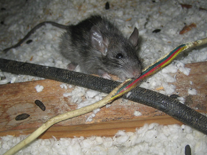 Mouse And Rat Removal