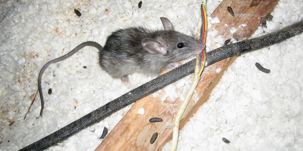 Rat In The Attic Signs Danger What To Do