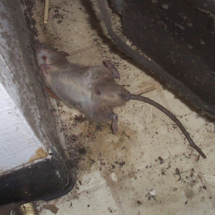 Dead Rat In Wall Attic Or Yard Disease Risks How To