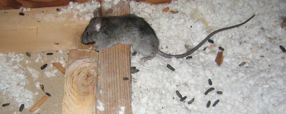 Rat Feces Pictures Danger And Diseases From Rat