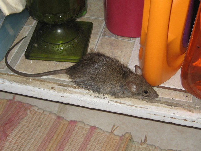 Admirable Rat In House What Do Do How To Get Rats Out Of Your House Interior Design Ideas Oteneahmetsinanyavuzinfo