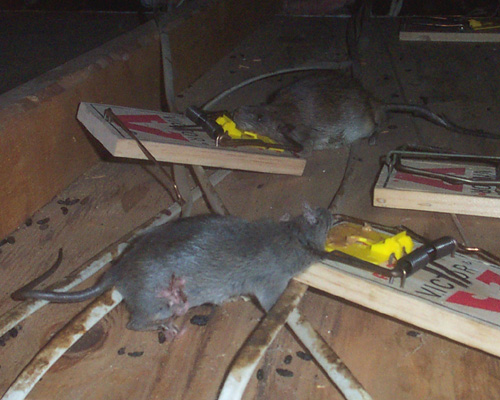 How To Get Rid Of Rats Steps And Tips