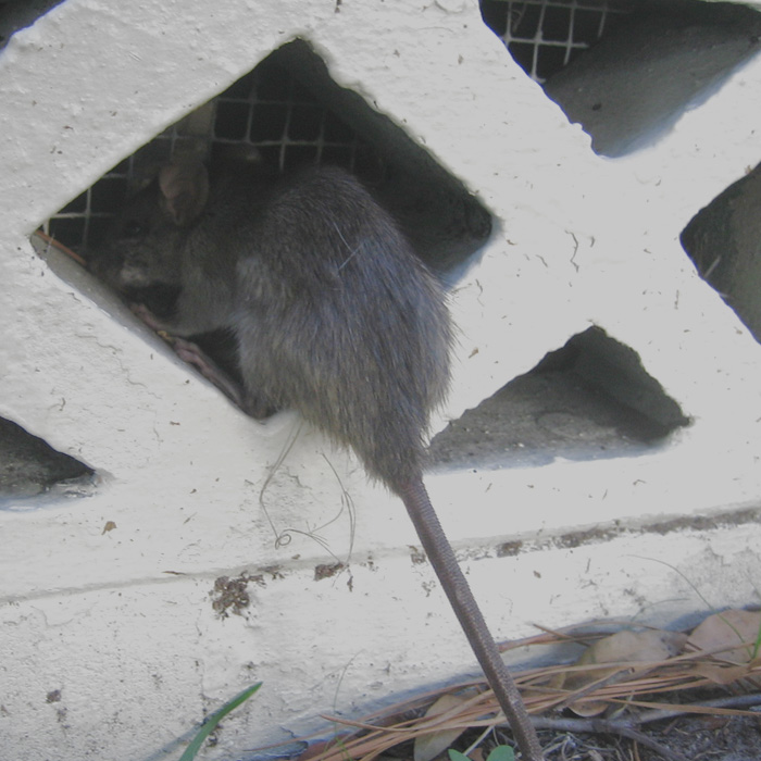 Rat Prevention How To Keep Rats Away