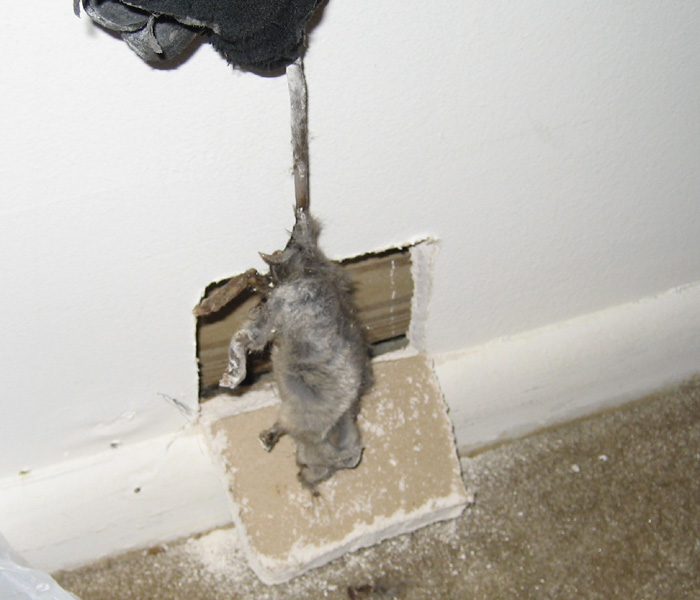 How To Get Rid Of Rats In The Walls Collection Of Rat Types