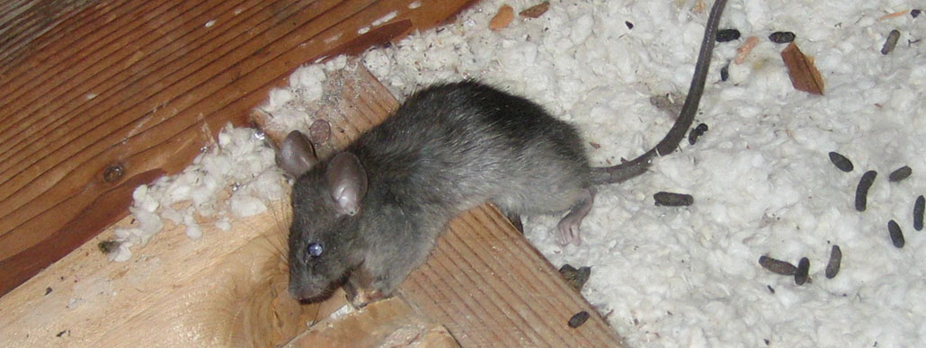 Do mothballs get rid of rats