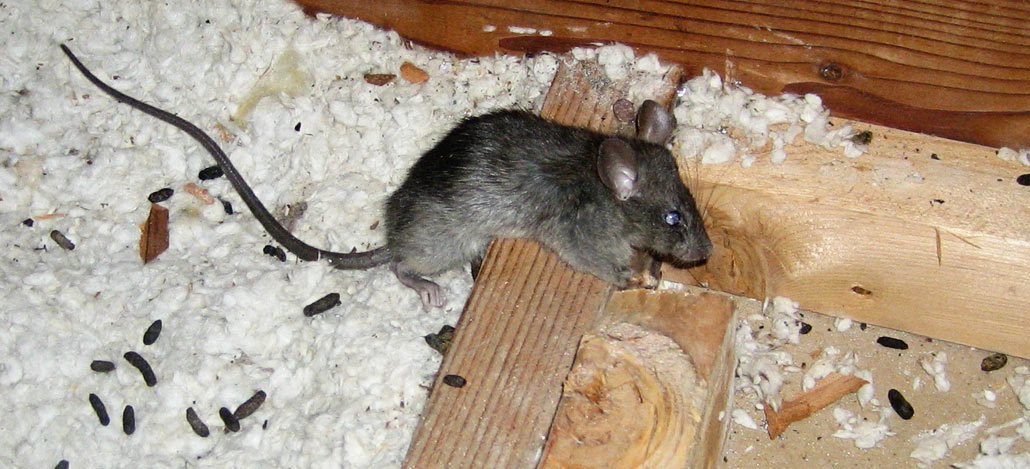 Is Rat Feces Dangerous To Touch Or Breathe
