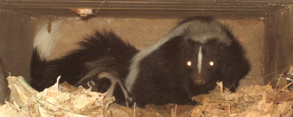 How to Get Rid of Skunks in Yard or Under House - Steps and Tips