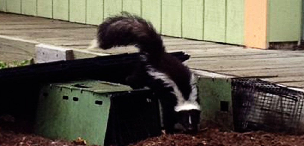 About skunks
