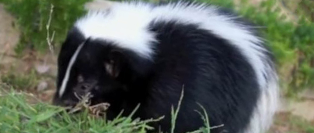 What are some ways to kill a skunk in the yard?