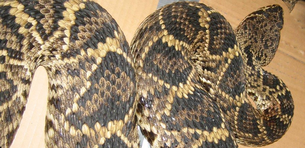Common Snakes of Arizona