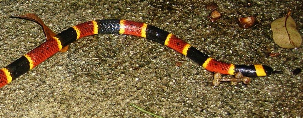 Venomous Snakes of California