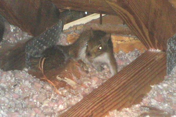 Squirrel In The Attic Signs Danger What To Do