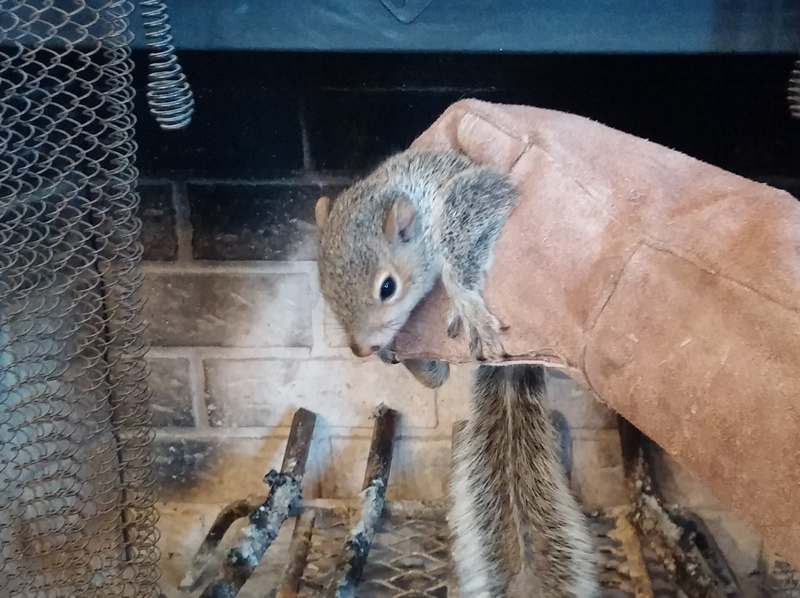 Squirrel In The Chimney What To Do Stuck In Chimney Cavity